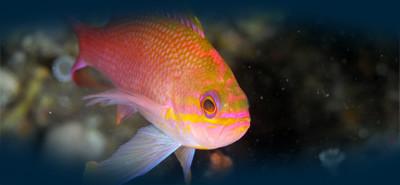 pesci plemmirio