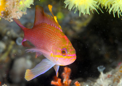 Secca-del-Capo-Anthias